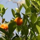 Los tipos de plagas en los árboles de naranjo