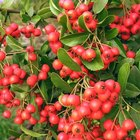 Types of hawthorn trees