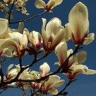 El significado de las flores de Magnolia