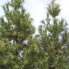 Árboles de pino y cedro de crecimiento rápido