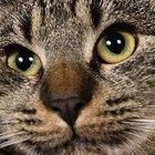 ¿Por qué los gatos dan cabezazos?