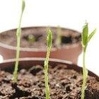 ¿Puede el agua azucarada aumentar el crecimiento de las plantas?