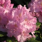 Fastest-Growing Rhododendrons