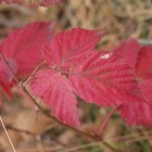 How to identify trees with dark red leaves