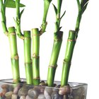Podando bambu da sorte