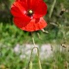 ¿Por qué la flor de la amapola se convirtió en el símbolo del Día de los Veteranos?