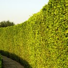 The best fast growing trees for a natural fence
