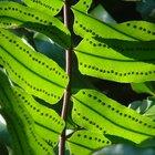 Por qué el celofán verde afecta el crecimiento de las plantas