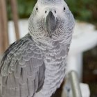 Bacterial Sinus Infections in an African Grey Parrot