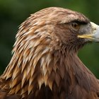 Predadores da águia-real