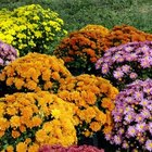Diferentes tipos de flores de crisantemos