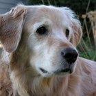 Por que as cruzas entre labradores e retrievers são cães de assistência?