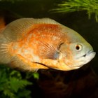 Small, Friendly Types of Cichlids