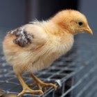 Vermífugos naturais para galinhas
