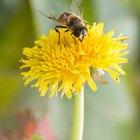 El ciclo de vida de las abejas