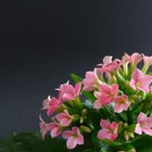 What Is the Difference Between Calandiva and Kalanchoe?