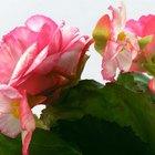 Información de las flores de begonia