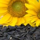 Quais animais comem sementes de girassol?
