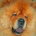 Cão Chow Chow e a Displasia da anca