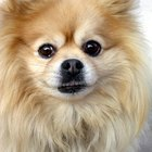 How to Stop a Pomeranian From Barking