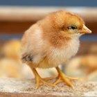 Ciclo de vida de los pollitos