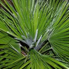 How to Shape a European Fan Palm