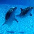 ¿Cómo pelean los delfines contra los tiburones?