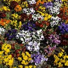 When to Plant Pansies?