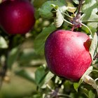 O que causa o apodrecimento de uma maçã?