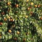 ¿Cuánto riego necesita un naranjo?