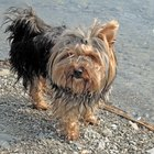 What Makes Yorkshire Terriers Itch & Scratch a Lot?