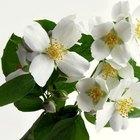 Jasmine Plant Disease