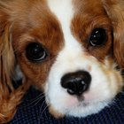 List of Spaniel Breeds