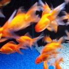 What Fantail Goldfish Eat