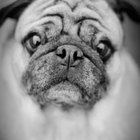 Inflamed Folds on Pugs