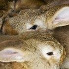 Señales y síntomas de embarazo en las conejas