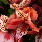 How to Trim Alstroemeria