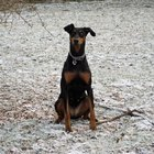 How to Train a Doberman Pinscher to Stay