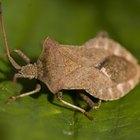 Shield Bug Identification
