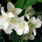 Yellow Leaves on Jasmine