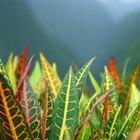 Cómo cuidar una Croton Petra