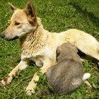 Suplementos para aumentar a lactação em uma cadela