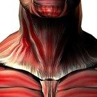 Anatomía y fisiología de la garganta
