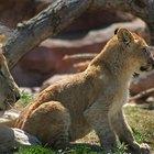 ¿Cómo cuidan los leones de sus crías?