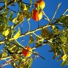 Etapas de florecimiento del naranjo