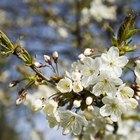 ¿Cuánto tiempo le lleva madurar a un cerezo?