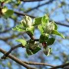 Reproducción asexual de los manzanos
