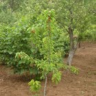 Enxertos compatíveis com plantas frutíferas