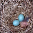 Identifying bird eggs & nests