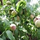 Guide to spraying fruit trees
